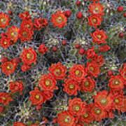 Claret Cup Cactus Flowers Detail Poster