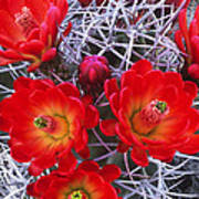 Claretcup Cactus In Bloom Wildflowers Poster