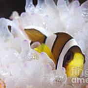 Clarks Anemonefish In White Anemone Poster