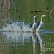 Clarks Grebes Dancing Poster