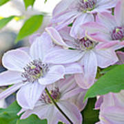 Clematis At Jack's Poster