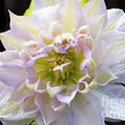 Clematis 'belle Of Woking' Poster