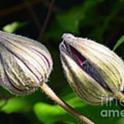 Clematis Buds Poster