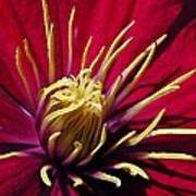 Clematis Center In Oils Poster