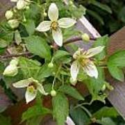 Clematis Grace Poster