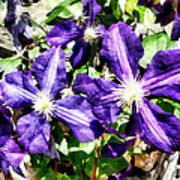Clematis On A Stone Wall Poster