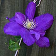 Clematis On A String Poster