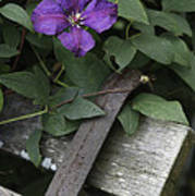 Clematis On Bench Poster