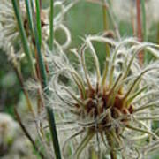 Clematis Seed Poster