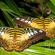 Clipper Butterflies Poster
