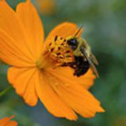 Close Up Bee Feeding On Orange Cosmos Poster