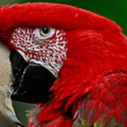 Close Up Of A Gorgeous  Green Winged Macaw Parrot. Poster
