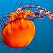 Close Up Of A Sea Nettle Jellyfis Poster