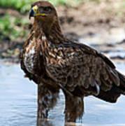Close-up Of A Tawny Eagle Aquila Rapax Poster