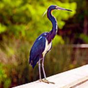 Close-up Of An Blue Egret, Boynton Poster