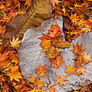 Close-up Of Fallen Maple Leaves Poster