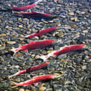 Close-up Of Fish In Water, Sockeye Poster