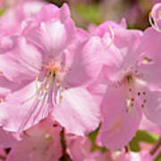 Close Up Of Pink Shell Azalea Flowers Poster