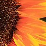 Close Up Of The Florets And Petals Of A Sunflower Poster