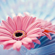 Close Up Of Two Pink Gerbera Daisies Poster