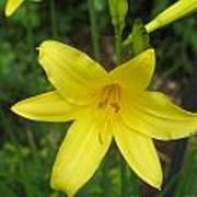 Close Up Of Yellow Mini Dayliliy Poster
