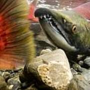 Close Up Underwater View Of Sockeye Red Poster