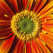 Close Up Yellow Orange Mum Poster