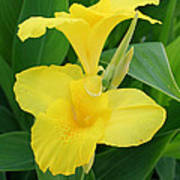 Closeup Of A Tropical Yellow Canna Lily Poster