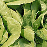 Closeup Of Boston Lettuce Poster