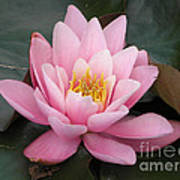 Closeup Of Pink Waterlily In A Pond Poster