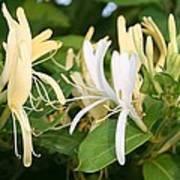 Closeup Shot Of Lonicera European Honeysuckle Flower Poster