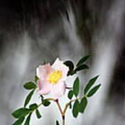 Cloud Mountain Cherokee Rose Poster