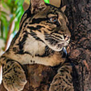Clouded Leopard 2 Poster