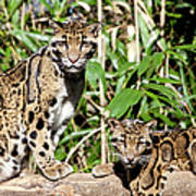 Clouded Leopards Poster