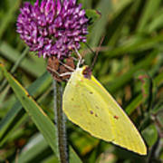 Clouded Sulphur On Clover Poster