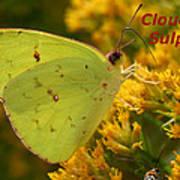 Cloudless Sulphur Poster