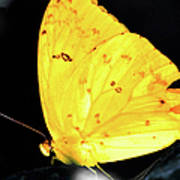 Cloudless Sulphur Butterfly Poster