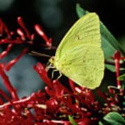 Cloudless Sulphur Butterfly Poster