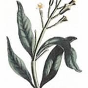 Clove Eugenia Aromatica Poster