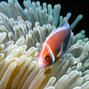Clownfish 9 Poster by Dawn Eshelman