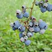 Clump Of Blueberries 3 Poster