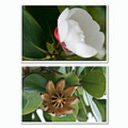 Clusia Rosea - Clusia Major - Autograph Tree - Maui Hawaii Poster by Sharon Mau