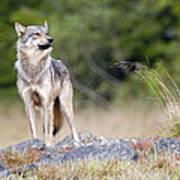 Coastal Wolf Poster