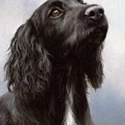 Cocker Spaniel Painting Poster