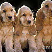 Cocker Spaniel Puppies Poster