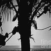 Coconut Palm - Cocotier - Ile De La Reunion - Reunion Island Poster by Francoise Leandre