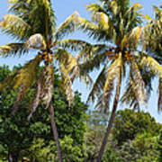 Coconut Palm Trees In Key West Poster
