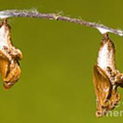 Cocooned Gulf Fritillary Butterflies Poster
