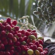 Cocos Nucifera - Niu Mikihilina - Palma - Niu - Arecaceae -  Palmae Poster