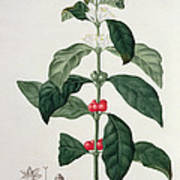 Coffea Arabica From Phytographie Poster